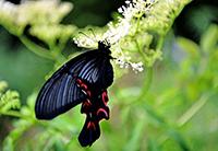 现世界珍稀蝴蝶――宽尾凤蝶