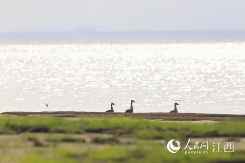 越冬候鸟陆续飞抵鄱阳湖